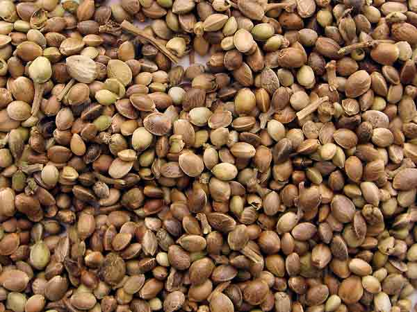 Семена конопли как есть рипен конопля